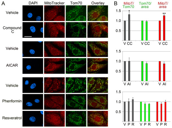Effects of pharmacological AMPK modulators on mitochondria.