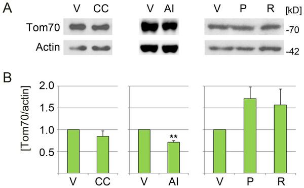 Effect of pharmacological AMPK modulators on the abundance of Tom70.