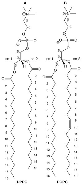 Chemical structure of (A) DPPC and (B) POPC, the two lipids modeled in this study.