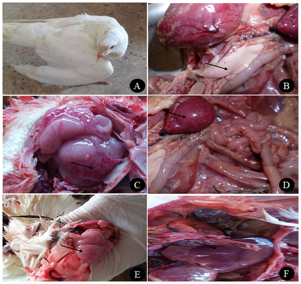 Clinical manifestations and PM lesions of birds suspected to be infected with AIVs.