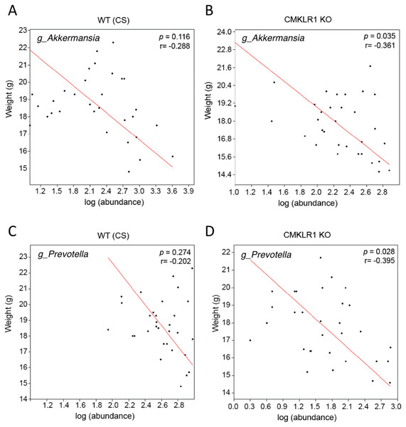 Changes in Akkermansia and Prevotella abundance are negatively correlated with total body mass in CMKLR1 KO mice.