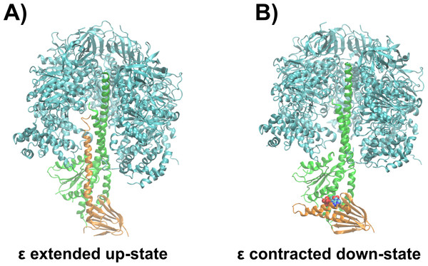Structural basis of ATPase inhibition and non-inhibition by subunit ε.
