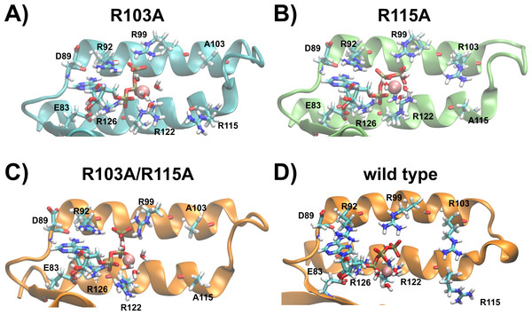 Predicted binding sites of the R103A and R115A mutants of the ε subunit from thermophilic Bacillus PS3.