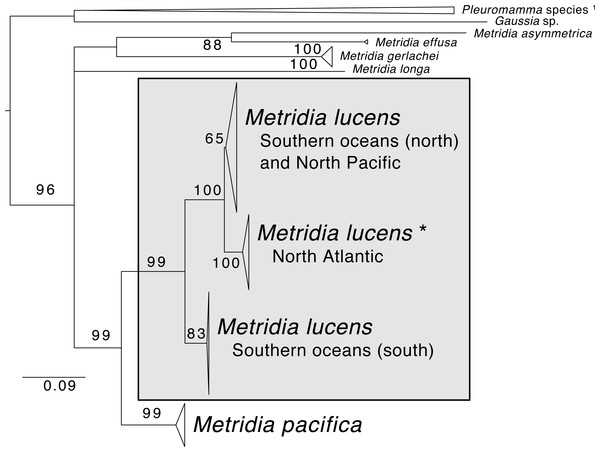 Maximum likelihood phylogeny of COI of Metridia copepods.