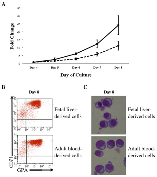 Amplification and maturation of CD34+ fetal liver (FL) and adult peripheral blood (AB) derived cells during ex vivo erythroid differentiation.