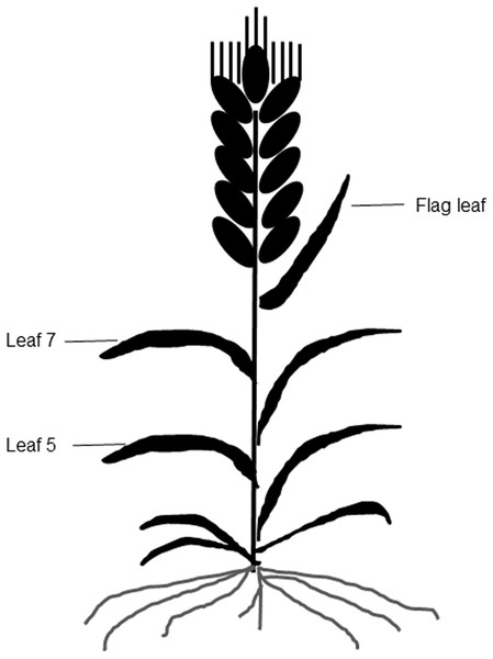 A diagram of different leaf positions in this study.