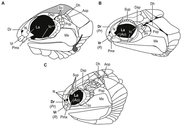 Comparative illustrations of fishes with dorsal rostral, ventral rostral, premaxillary, and lacrimal bones highlighting similarities and differences of skull bones between these taxa.