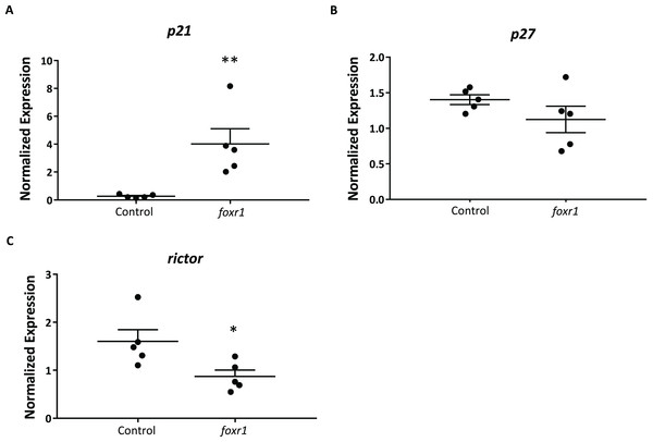 Expression profiles of (A) p21, (B) p27, and (C) rictor in eggs from foxr1 mutant females.