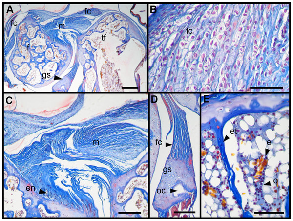 Histology of the knee-joint of Leptodactylus latinasus.