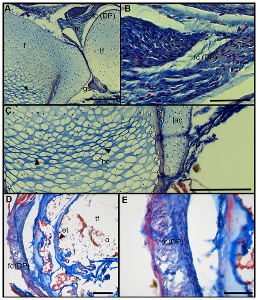 Histology of the knee-joint of treatment specimens.