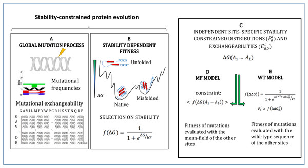 Schematic representation of the site-specific stability constrained substitution models studied in this work.