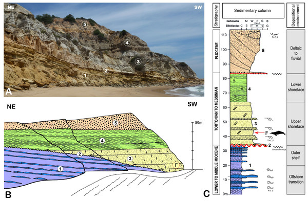 Stratigraphical context for the holotype of Kwanzacetus khoisani.