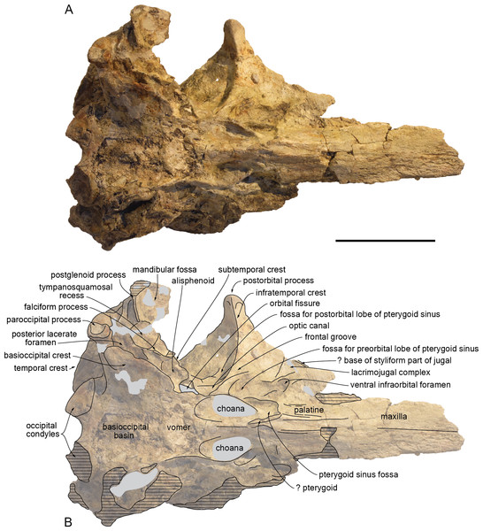 Ventral view of the cranium of Kwanzacetus khoisani.