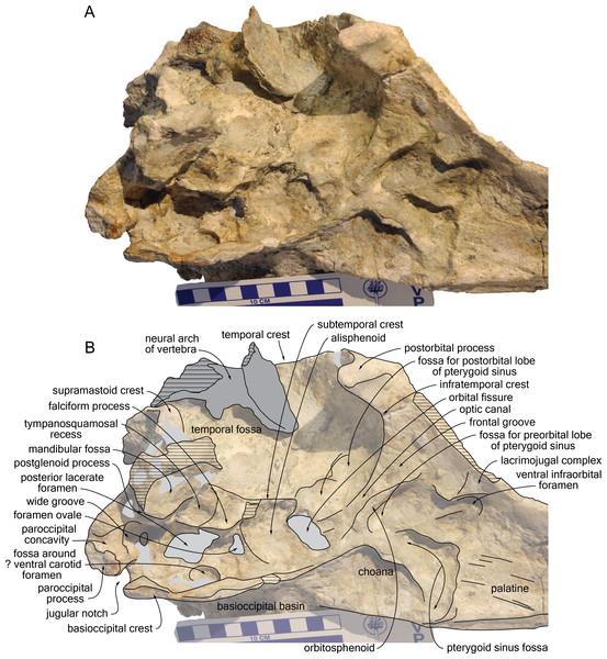 Detail of the basicranium, orbit, and palate of the cranium of Kwanzacetus khoisani.