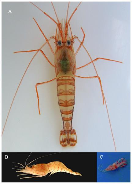 Colors of L. arvoredensis sp. nov.