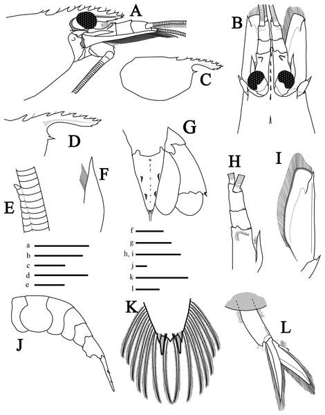 Morphological illustrations of L. arvoredensis sp. nov.