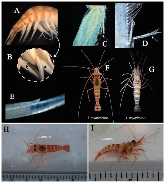 Photography of details of L. arvoredensis sp. nov.