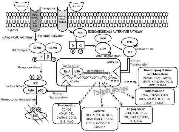 NF-κB signal transduction pathway.