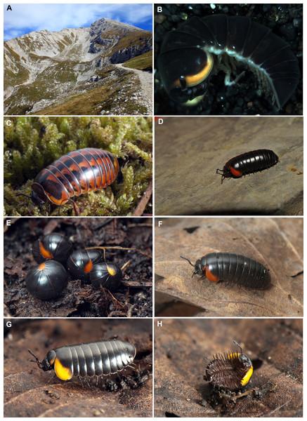 Photographs of the analyzed Glomeris species.