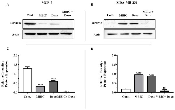 Protein level of survivin following treatment with MBIC and doxorubicin, individually or in combination in MCF-7 and MDA-MB-231 human breast cancer cell lines.
