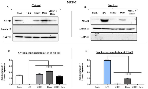 NF-κB activation and its correlation with expression level of miR-146a in MCF-7 cell line.