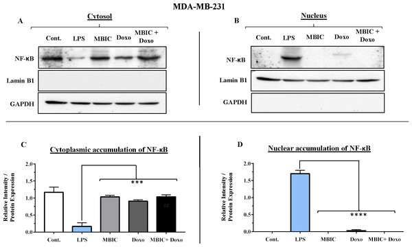 NF-κB activation and its correlation with expression level of miR-146a in MDA-MB-231 cell-line.