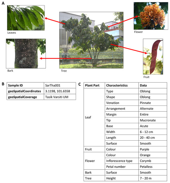 An example of images and description of Saraca thaipingensis sample.