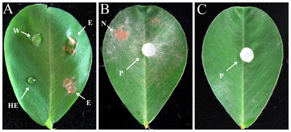 Effects of crude enzyme extract from R. solani culture and R. solani mycelium inoculated onto peanut leaf for 2 days.