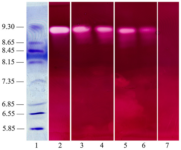 Polygalacturonase isozyme produced in shaken liquid cultures and in infected tissue inoculated with R. solani (both for 10 days).