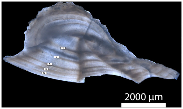 Transverse section of a sagittal otolith from a five-year old Gulf Corvina.