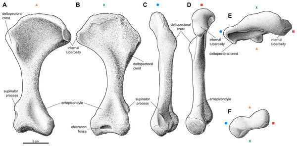 Reconstruction of the right humerus of the aetosaur Stagonolepis olenkae,Sulej, 2010.