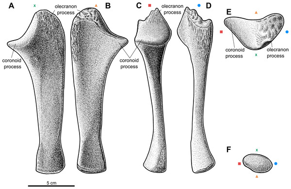 Reconstruction of the left ulna of the aetosaur Stagonolepis olenkae,Sulej, 2010.
