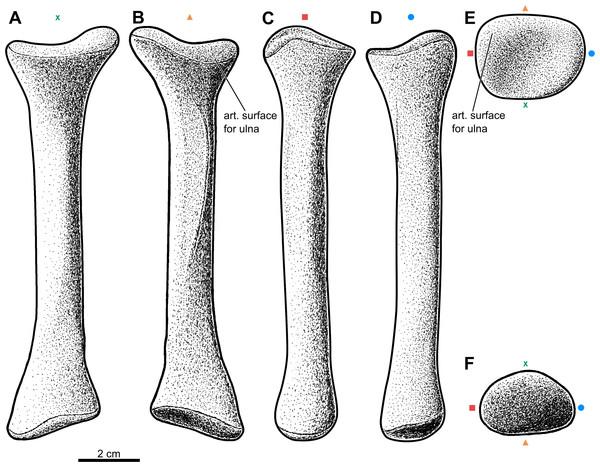 Reconstruction of the left radius of the aetosaur Stagonolepis olenkae,Sulej, 2010.