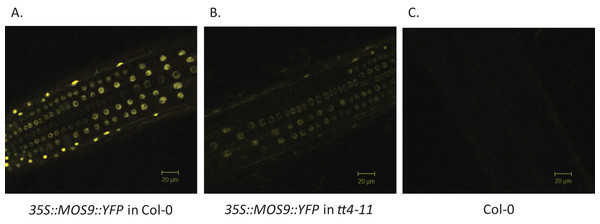 Localization of MOS9 in wild-type and CHS-deficient roots.