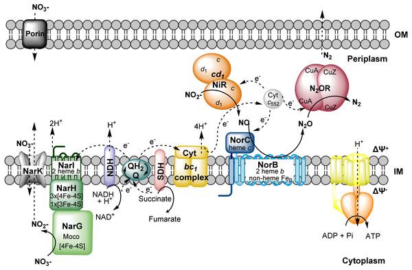 Schematic representation of denitrification pathway in M. hydrocarbonoclasticus.