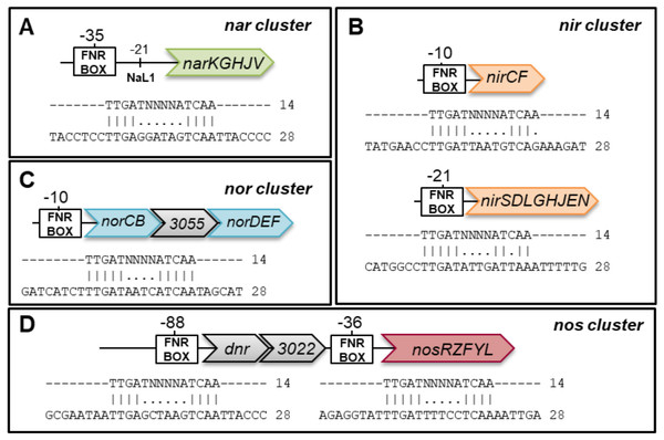 Analysis of the promoter regions of nitrate reductase (nar), nitrite reductase (nir), nitric oxide reductase (nor) and nitrous oxide reductase (nos) gene clusters.