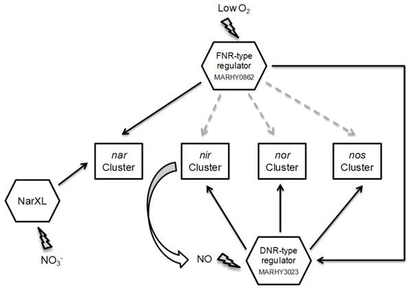 Putative regulatory network controlling denitrification gene expression in M. hydrocarbonoclasticus.