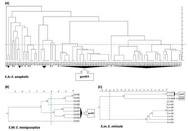 RAPD-PCR dendrogram of the Elizabethkingia spp. isolates investigated in this study.