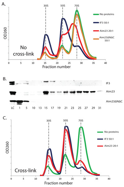 The unusual effects of Aim23p on E. coli ribosomes in vitro.