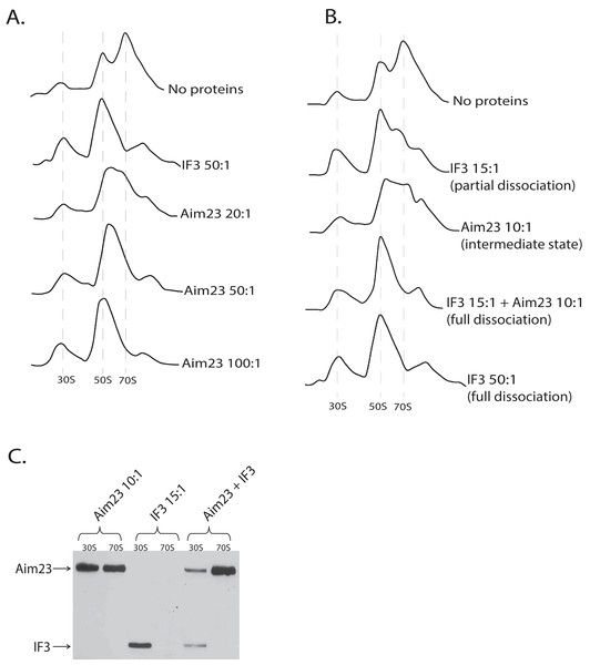 Aim23p is able to dissociate E. coli ribosomes either in large concentrations, or together with E. coli IF3.