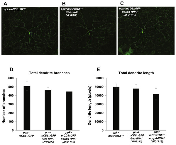 Nociceptor-specific knockdown of Gαq and norpA does not cause changes in mdIV neuron dendrite length or branch number.
