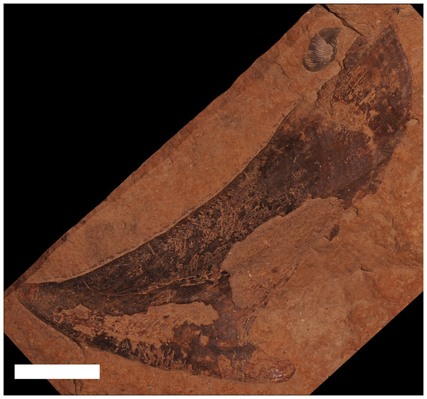 A supragnathal plate from an unknown ptyctodont from the Traverse Group.