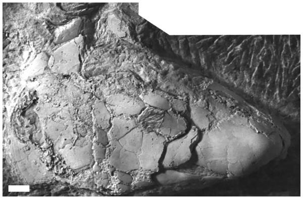 The skull of Chirodipterus onawayensis.