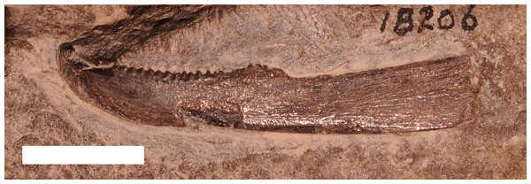 An inferognathal from the Late Devonian arthrodire ?Trachosteus clarki from the Antrim Shale.