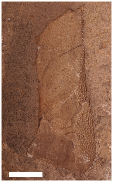 An incomplete armor plate from Eczematolepis sp.