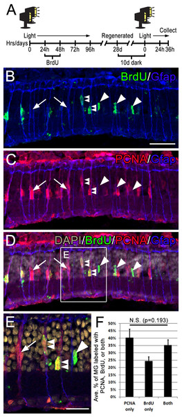 Following consecutive rounds of light damage, different populations of Müller glia re-enter the cell cycle.