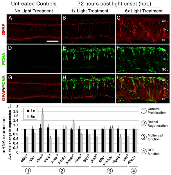 Following six rounds of light treatment Müller glia remain persistently gliotic at the canonical peak stage of progenitor proliferation and migration.