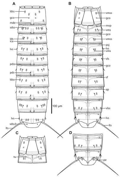 Line art illustrations of Pycnophyes ancalagon sp. nov.