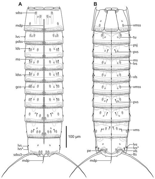 Line art illustrations of Cristaphyes dordaidelosensis sp. nov.