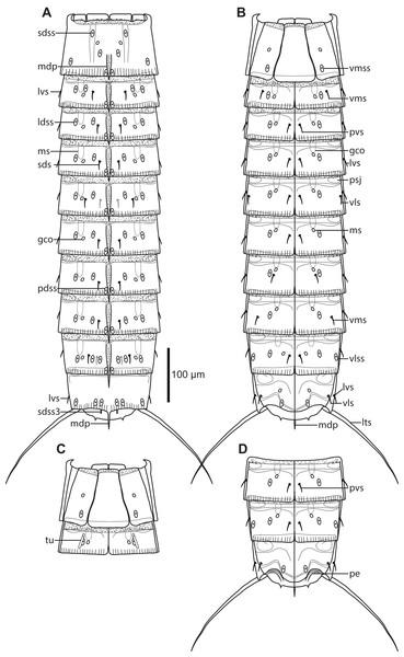 Line art illustrations of Cristaphyes glaurung sp. nov.